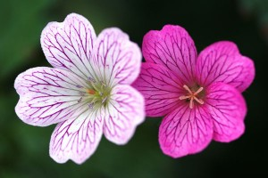 White and pink flowers photo credit: pshutterbug / Foter / CC BY